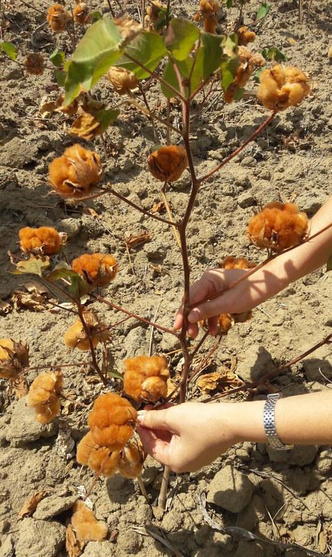 Algodão orgânico colorido. Fonte: Natural Cotton Color