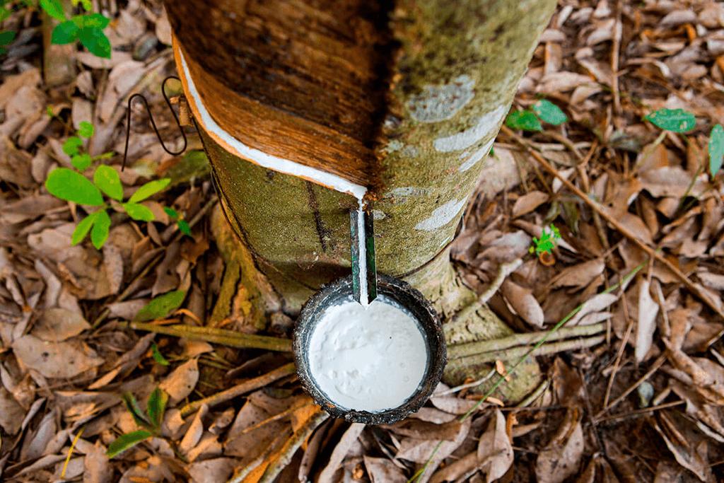 Seringueira, rubber tree. Source image: https://palmeiraseheliconias.com/a-seringueira-arvore-da-borracha/